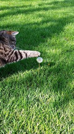 """Kitty-Cat:  """"Oooh... A dandelion, I'm going to make a wish... I'd LOVE a basket full of fish!""""  (Written By: © Lynn Chateau.)"""
