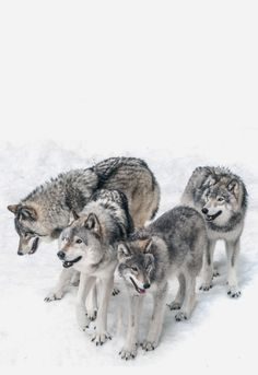 Timber Wolves by Janet Capling