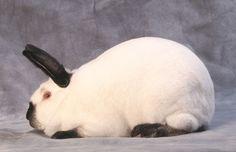 ~ Californian Rabbit ~