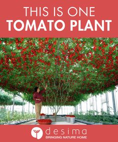 This Is One Tomato Plant — desima