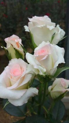 Beautiful Rose Flowers, Pretty Roses, Flowers Nature, Amazing Flowers, Beautiful Flowers, Beautiful Pictures, White Roses, Pink Roses, Hybrid Tea Roses