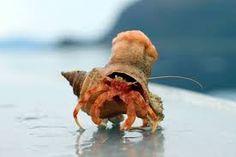 hermit crab legs - Google Search