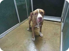 ***URGENT! 11/28/16 Killeen, TX - Pit Bull Terrier Mix. Meet *DUCKEE, a dog for adoption. http://www.adoptapet.com/pet/17070506-killeen-texas-pit-bull-terrier-mix