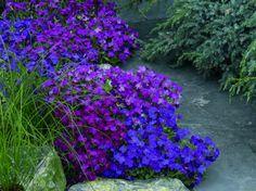 Aubrieta x Hybrida Audrey Red Purple Mix Green, Plants, Garden, Front Garden, Outdoor Gardens, Perennials, Garden Beds, Flowers, Rock Plants