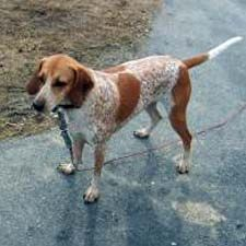 My favorite hounds are Red Ticks Coon Hounds. This one isn't mine, but looks very similar.