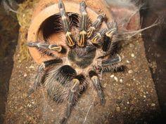 Terrestrial Tarantula Set-up  Caresheet: Chaco Golden Knee Caresheet (Grammostola Pulchripes)