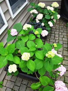 Potted hydrangea from cuttings. 14 months ago, these hydrangea were about 6 inches tall. Hydrangea grow fast!