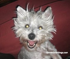 Psycho Westie! And there I thought it was just my dog, turns out its a Westie thing to be psychos!