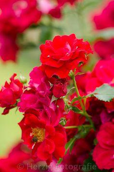 """Rosa """"Zweibrücken"""" - Rose"""
