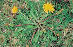 Dandelion Weeds In Lawn, Dandelion, Plants, Dandelions, Plant, Planting, Planets