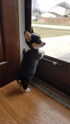 16 Reasons Corgis Are The Worst Breed In The World - Dog Red Line - luisa Cute Baby Dogs, Cute Dogs And Puppies, I Love Dogs, Super Cute Puppies, Cute Corgi, Corgi Dog, Dog Cat, Baby Corgi, Baby Animals Pictures
