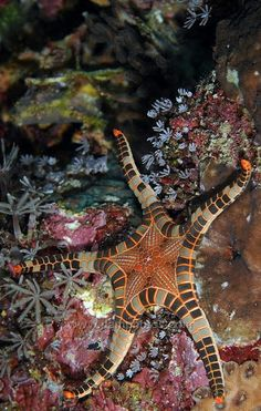 Icon Starfish, Bali by Mark Atwell -- this doesn't look real! Underwater Creatures, Underwater Life, Beautiful Sea Creatures, Animals Beautiful, Fauna Marina, Life Under The Sea, Beneath The Sea, Tier Fotos, Sea And Ocean