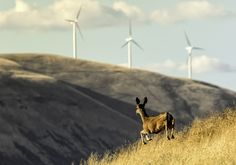 Cruising the back roads of Sherman County, Oregon. - A young mule deer bounds along a rise on Gordon Ridge Road near Biggs, Oregon. The wind turbines are on the Washington side of the Columbia River. Grass Valley, Wind Of Change, Ridge Road, Mule Deer, Back Road, Columbia River, Windmill, Roads, Wind Turbine