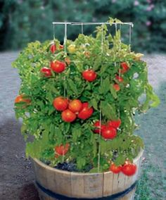 Wine barrel planters are perfect for growing Tomatoes. You can get a great crop year after year.
