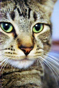 Tabby Cat with green eyes. Cat kitten kitty pet photo photograph photography wiskers nose chin ears