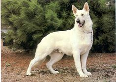 The wife just rescued a 12 yr old White German Shepherd. Never knew this rare breed ever existed.  This dog took to me and is now my best bud!
