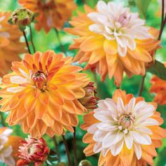 Coupe de Soleil Dahlia 2.5-3' zones 3-10 summer to frost blooming