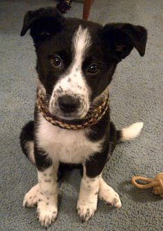 Chevy the Border Collie Mix. Black and white dogs... Get me every time...
