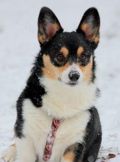 Minners #corgi #snow #winter Pembroke Welsh Corgi