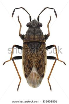 Bug Peritrechus gracilicornis on a white background - stock photo