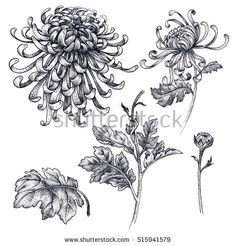 Flowers, branches, leaves Japanese chrysanthemum isolated on a white background. Chrysanthemum Drawing, Japanese Chrysanthemum, Japanese Flower Tattoo, Japanese Flowers, Japanese Art, Flower Tattoo Designs, Flower Tattoos, Leaf Tattoos, Tattoo Ideas
