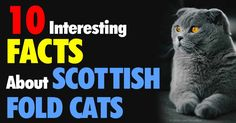 Scottish Folds kittens are known for their owl-like appearance, but they are affectionate, social, and quiet cats that enjoy spending time with their owners. http://healthypets.mercola.com/sites/healthypets/archive/2015/04/10/scottish-fold-cat.aspx
