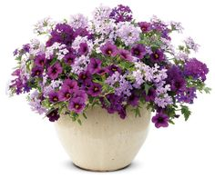 Hocus Pocus | Proven Winners..plum calibrachoa and purple and lilac verbena...spillers... Gorgeous combo Container Flowers, Flower Planters, Garden Planters, Container Plants, Outdoor Flowers, Container Gardening, Hocus Pocus, Recipe Search, Proven Winners