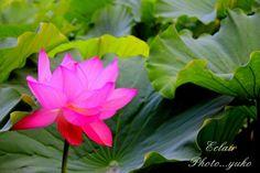 不忍池の蓮の花 4