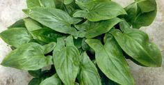 Penjelasan singkat tentang manfaat dan kandungan herbal keladitikus.