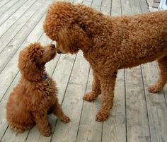 You cannot help but to love poodles. They are so dang smart.