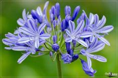 Hoa Thanh Anh còn gọi là hoa Agabăng  http://dienhoadanang.com/vn/1411098835-Hoa-Thanh-Anh-con-goi-la-hoa-Agabang.html