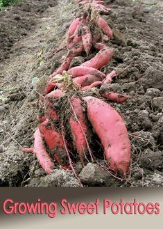 Growing Vegetables - You need sunshine and warmth to grow sweet potatoes. It is not simply the number of days since planting, or your winter hardiness plant zone that create heavy yields, but the growing degree days (GDD, accumulated heat units). Potager Garden, Veg Garden, Edible Garden, Vegetable Gardening, Gardening Books, Garden Farm, Veggie Gardens, Farm Gardens, Garden Plants