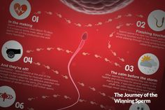 1000+ sperm roll off the production line every heartbeat & 250 million leave the male body at ejaculation. It's a big race with only 1 penetrating the egg.