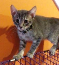 Adopt a Homeless Cat | Corleone Capone | Domestic Short Hair | Furrever Friends Rescue & Volunteers, Inc.