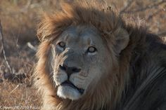 Botswana,Lion
