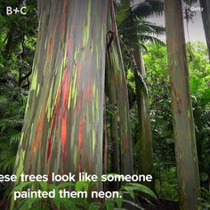 Can we plant these in our backyard? art ideas videos Rainbow Eucalyptus Trees Are Our New Fave Plant The Places Youll Go, Places To See, Places To Travel, Travel Destinations, Rainbow Eucalyptus Tree, Beautiful World, Beautiful Places, Modern Christmas, Christmas Trees