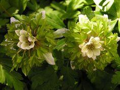 Anemone nemorosa 'Green Dream' - lịch lâm ngân liên hoa, lâm ấm ngân liên hoa