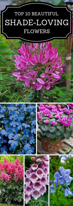 10 Beautiful Shade - Loving Flowers Cleomes-plant seed early spring by pressing into dirt.Cleomes-plant seed early spring by pressing into dirt. Shade Loving Flowers, Types Of Flowers, Love Flowers, Beautiful Flowers, Beautiful Beautiful, Purple Flowers, Spring Flowers, Shade Garden Plants, Garden Shrubs