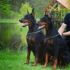 Doberman dogs  #dog #doberman #dublindog
