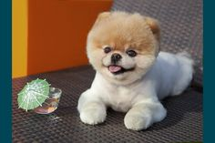 """This is """"Boo"""" - now being called the cutest dog in the world!  He has close to one million Facebook friends & now has his very own book, """"Boo:The Life of the World's Cutest Dog""""!  He is adorable, but I'm kind of partial to the """"1-800-Petmeds"""" Pom in the t.v. ad!  I would think this little guy could make even the grumpiest person smile.....   :-)"""