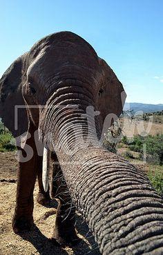Elephant trunk Elephant Trunk, Animal Photography, Trunks, Pets, Animals, Drift Wood, Animales, Nature Photography, Animaux