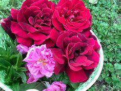 Rózsavíz :: Varázsfuves Flowers, Plants, Plant, Royal Icing Flowers, Flower, Florals, Floral, Planets, Blossoms