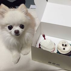 Chihuahua and cup cakes...