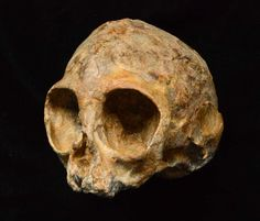 The discovery in Kenya of a remarkably complete fossil ape skull reveals what the common ancestor of all living apes and humans may have looked like. Crane, Los Primates, African Origins, Early Humans, Kenya Africa, East Africa, Human Evolution, Archaeology News, Discovery