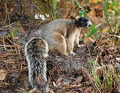 The fox squirrel is found throughout Florida in open woods, pine and cypress stands, and mangrove swamps.