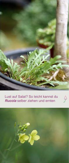 Gartentipp: Rucola im Garten oder auf dem Balkon pflanzen, pflegen und vermehren.