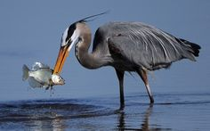 A great blue heron catches a snack at the Blackwater National Wildlife Refuge in Cambridge, Md. The 24,000-acre refuge on the Eastern Shore is home to several types of wildlife, including the bald eagle.