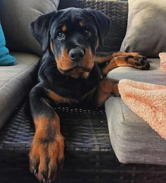 """Obtain fantastic ideas on """"rottweiler puppies"""". They are available for you on our internet site. Bulldog Breeds, Pet Breeds, Pets, Pet Dogs, Dog Cat, Chihuahua Dogs, West Highland Terrier, Cute Puppies, Dogs And Puppies"""