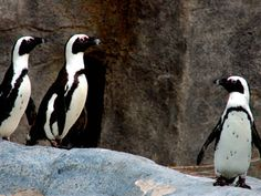 African Penguin - Seriously the cutest creatures ever. Mark my words, I will have one someday.