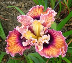 World of Irises: Garden Visit: Pacific Coast Iris at Leonine Iris Gardens, Pt.3